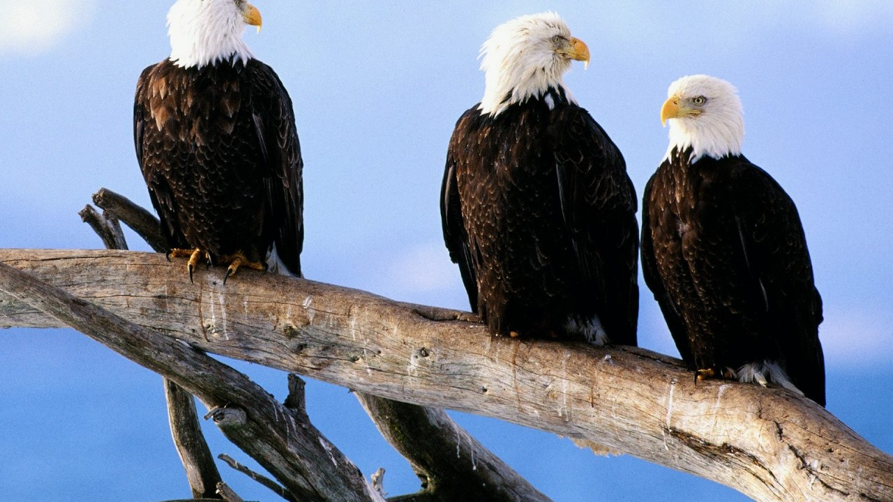 wild and free bald eagles normal