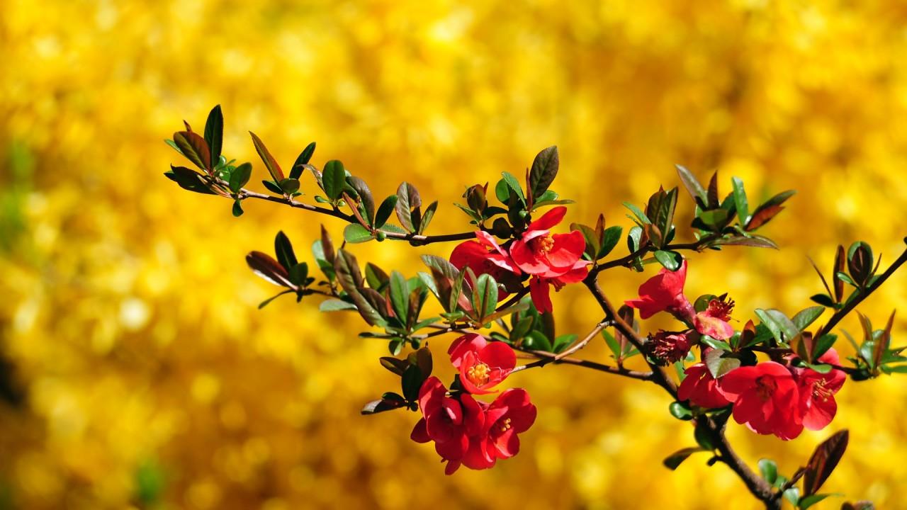 beautiful maroon flower hd wallpaper