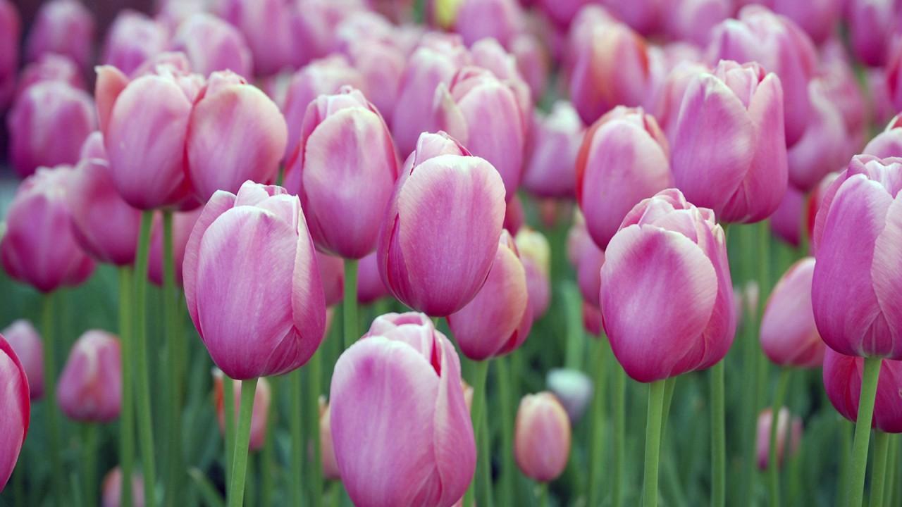 hd wallpaper flowers hd