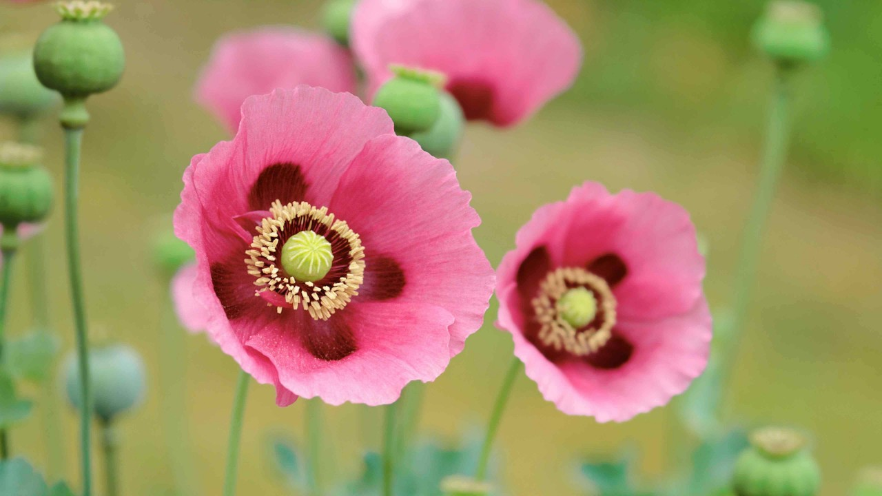 Several poppies