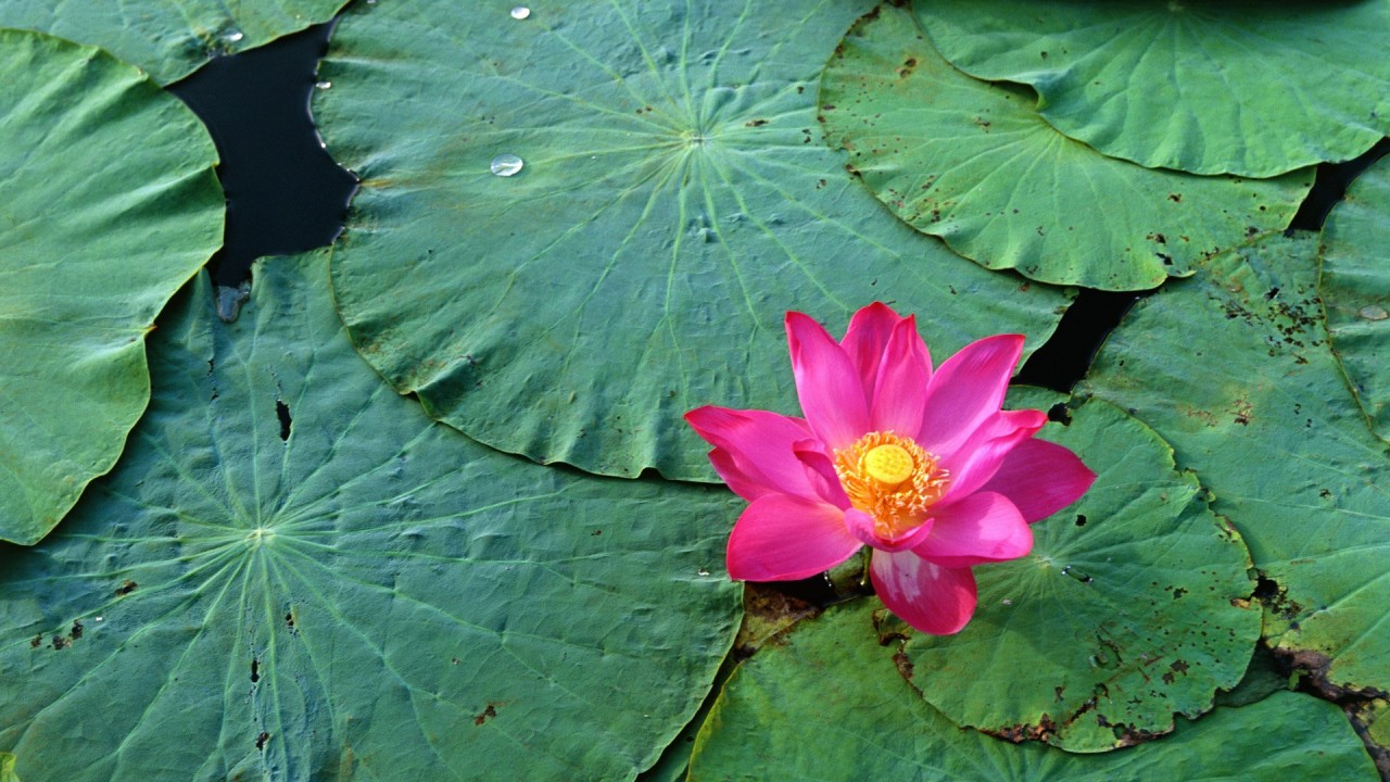 hd wallpaper lotus flower pink water