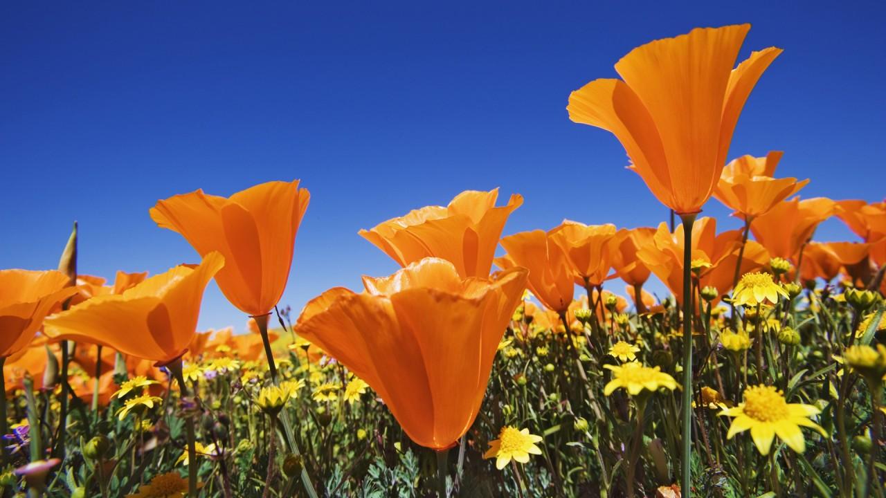 hd wallpaper orange flowers