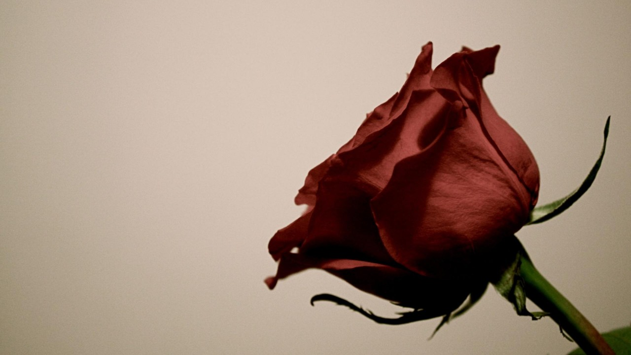 hd wallpapers red rose