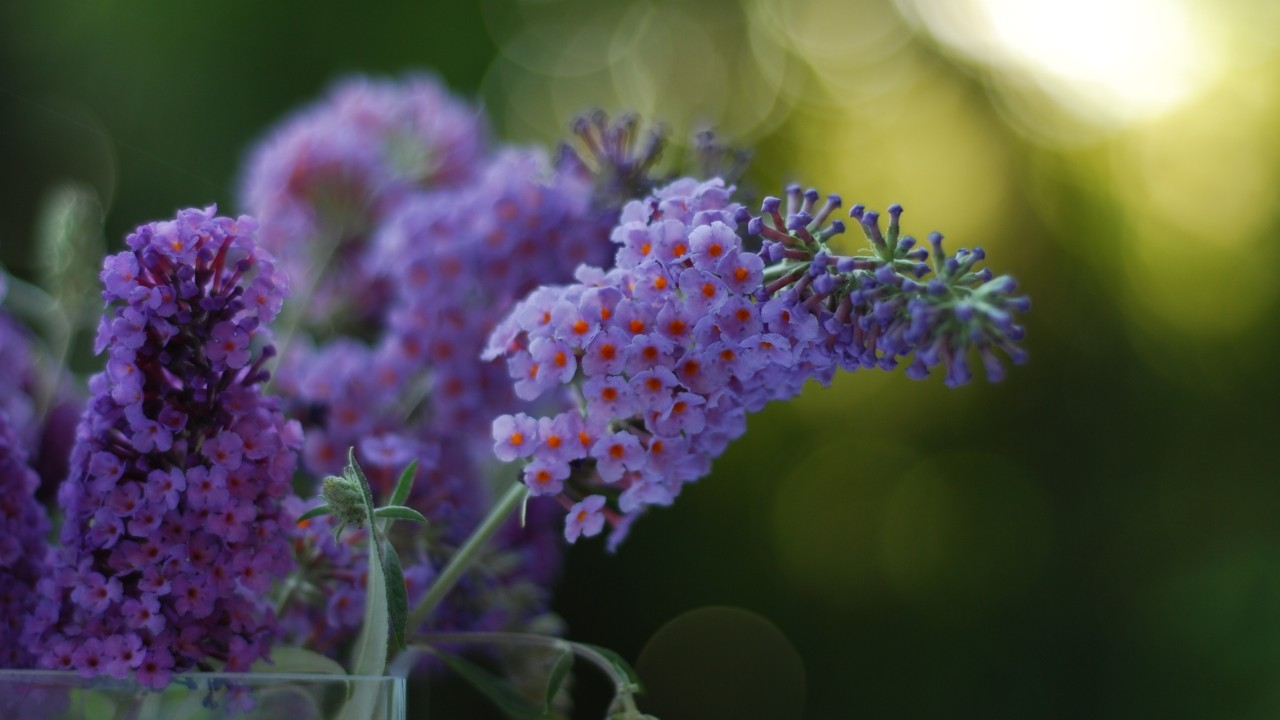 lilacs bloomed