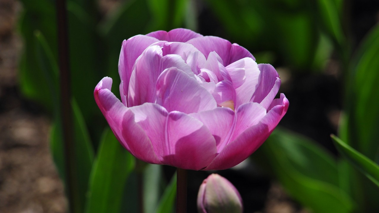 tulips flowers hd wallpaper