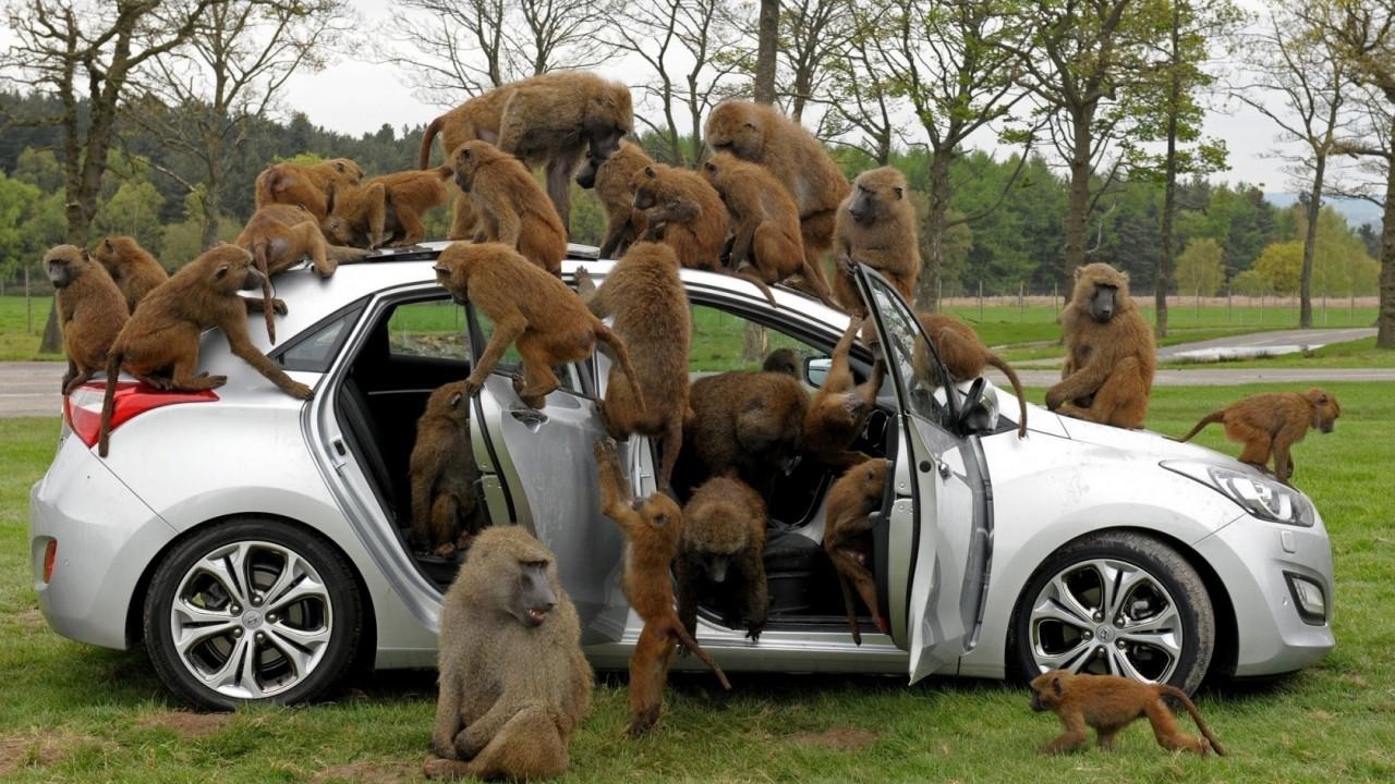 baboons drive cars