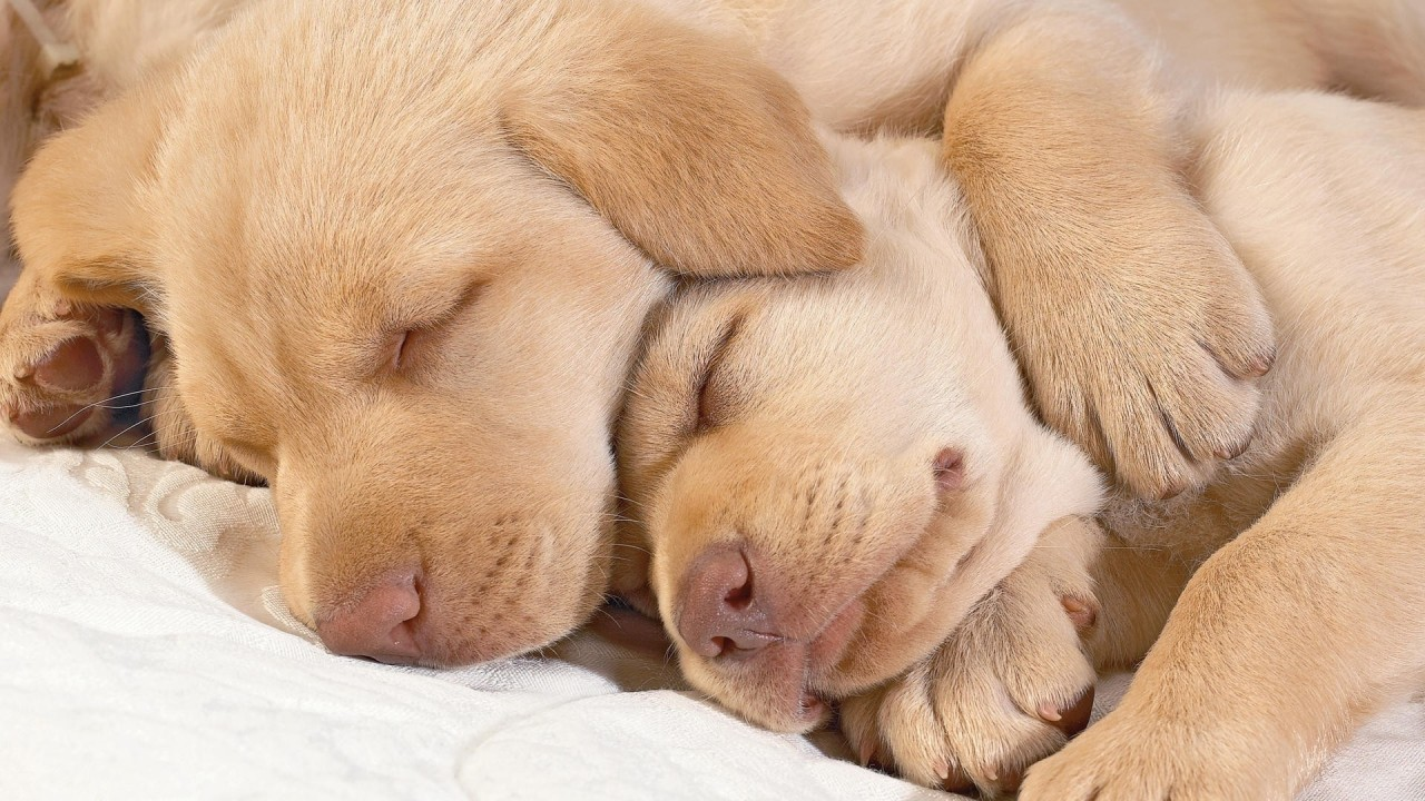 funny dogs sleeping hd wallpaper