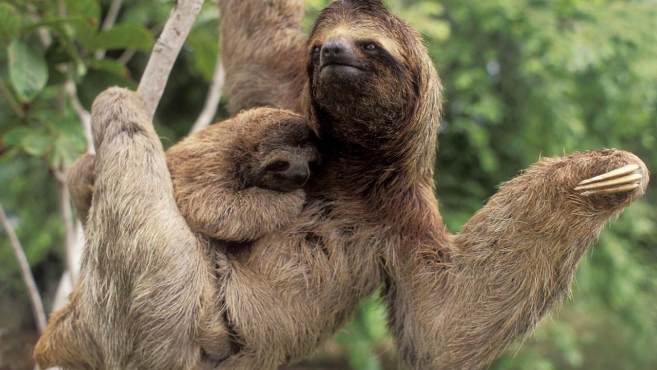 funny sloth animals hd wallpaper