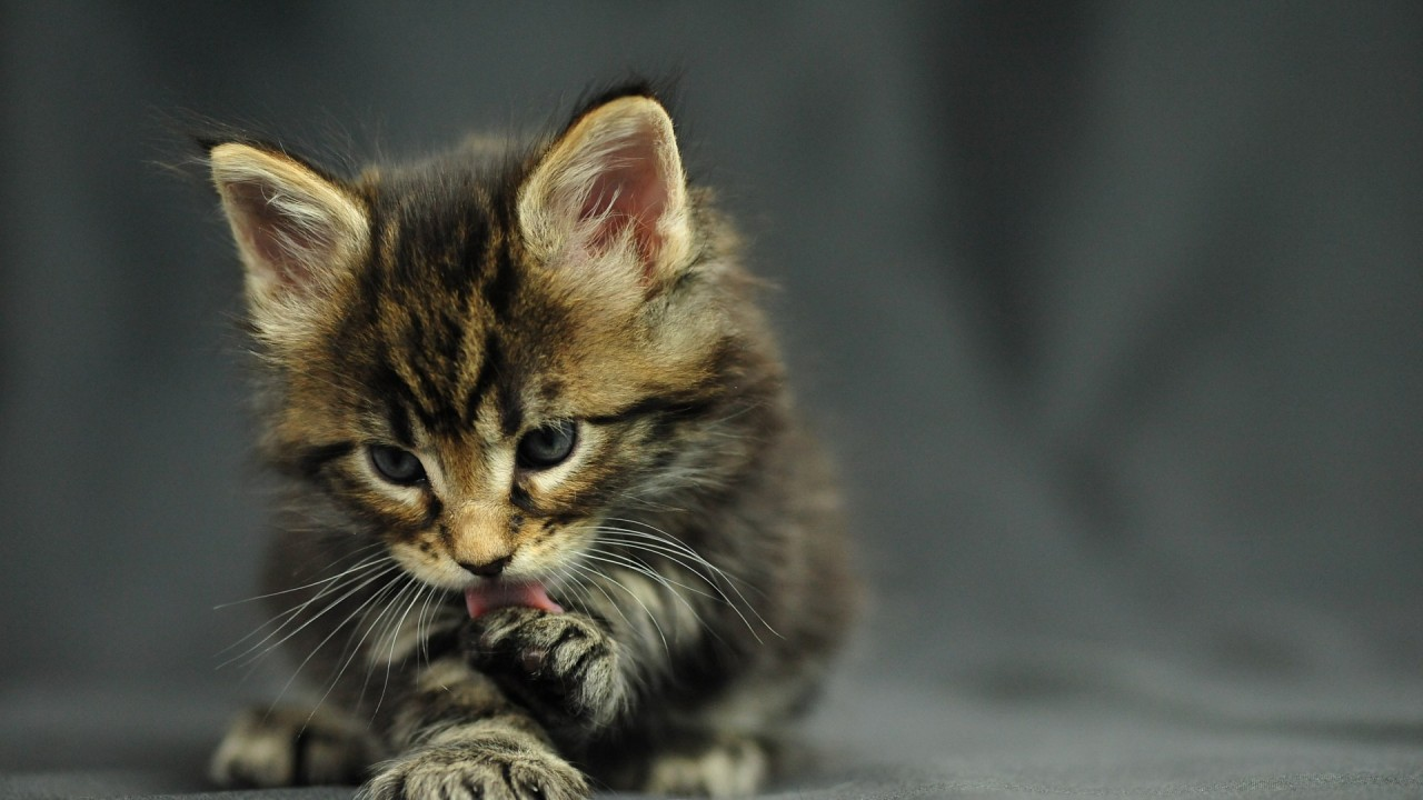 hd wallpaper download wallpaper image wallpaper funny cat oracle maine coon kitten  cats