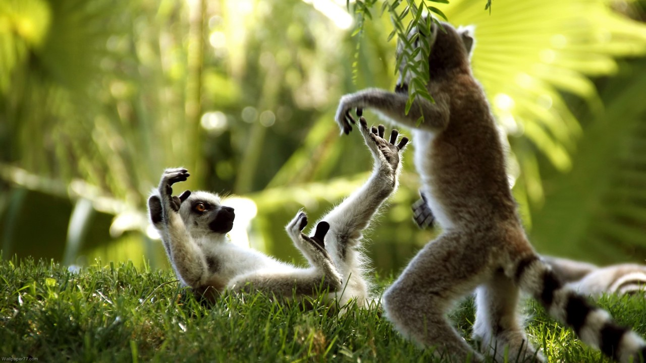 hd wallpaper playing monkeys