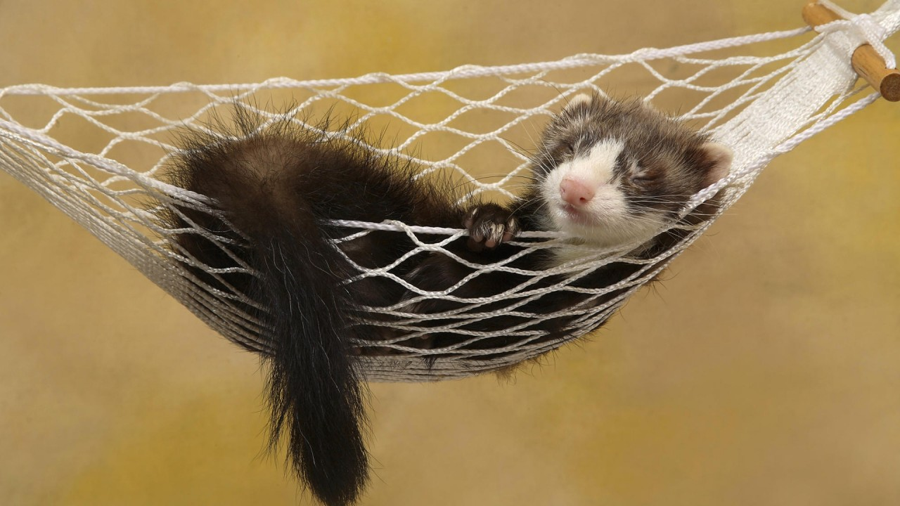 polecat in hammock