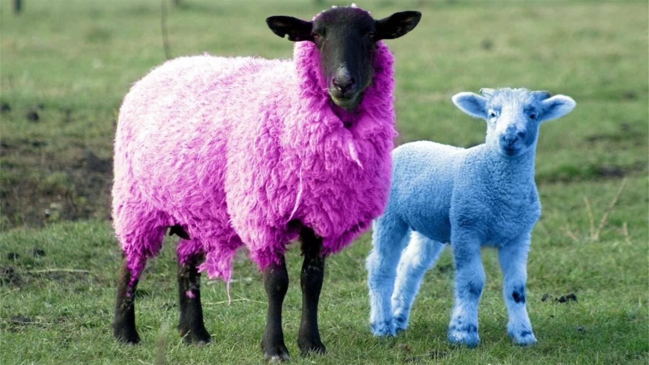 sheep funny costumes hd wallpaper