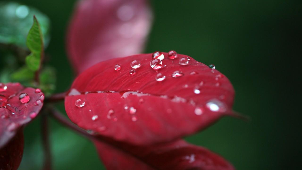 dew drops on red leaf