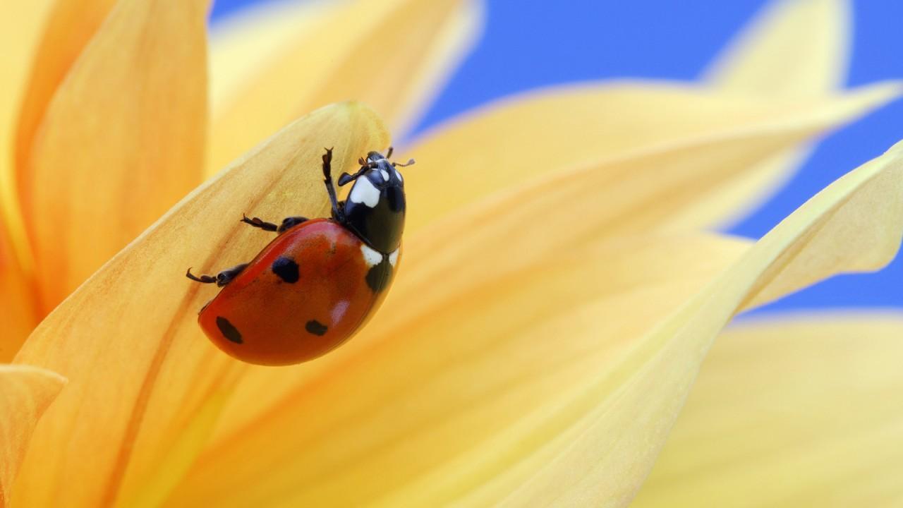 hd wallpaper ladybug