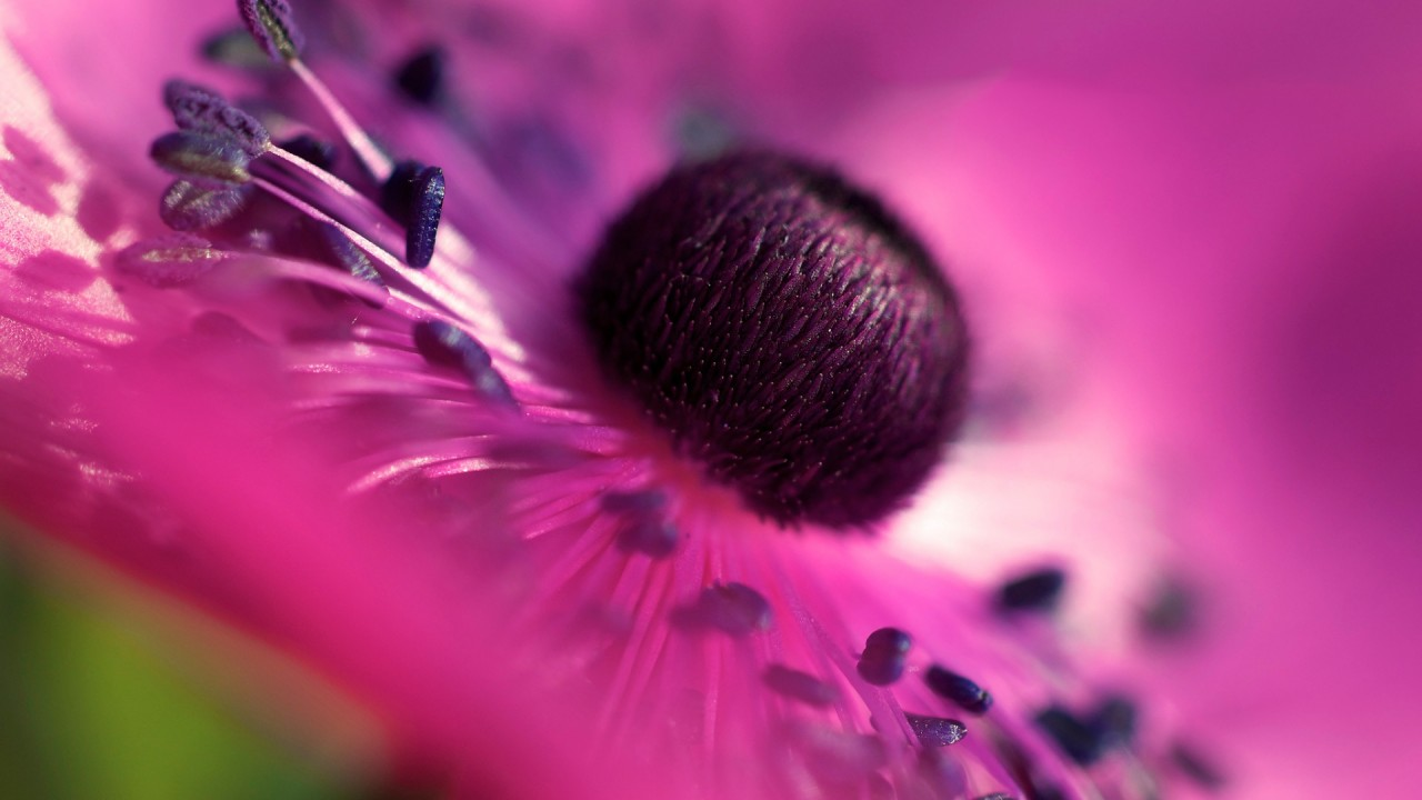 hd wallpaper pink flower macro
