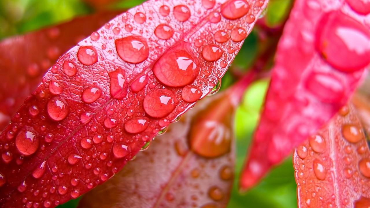 hd wallpaper red leaves macro
