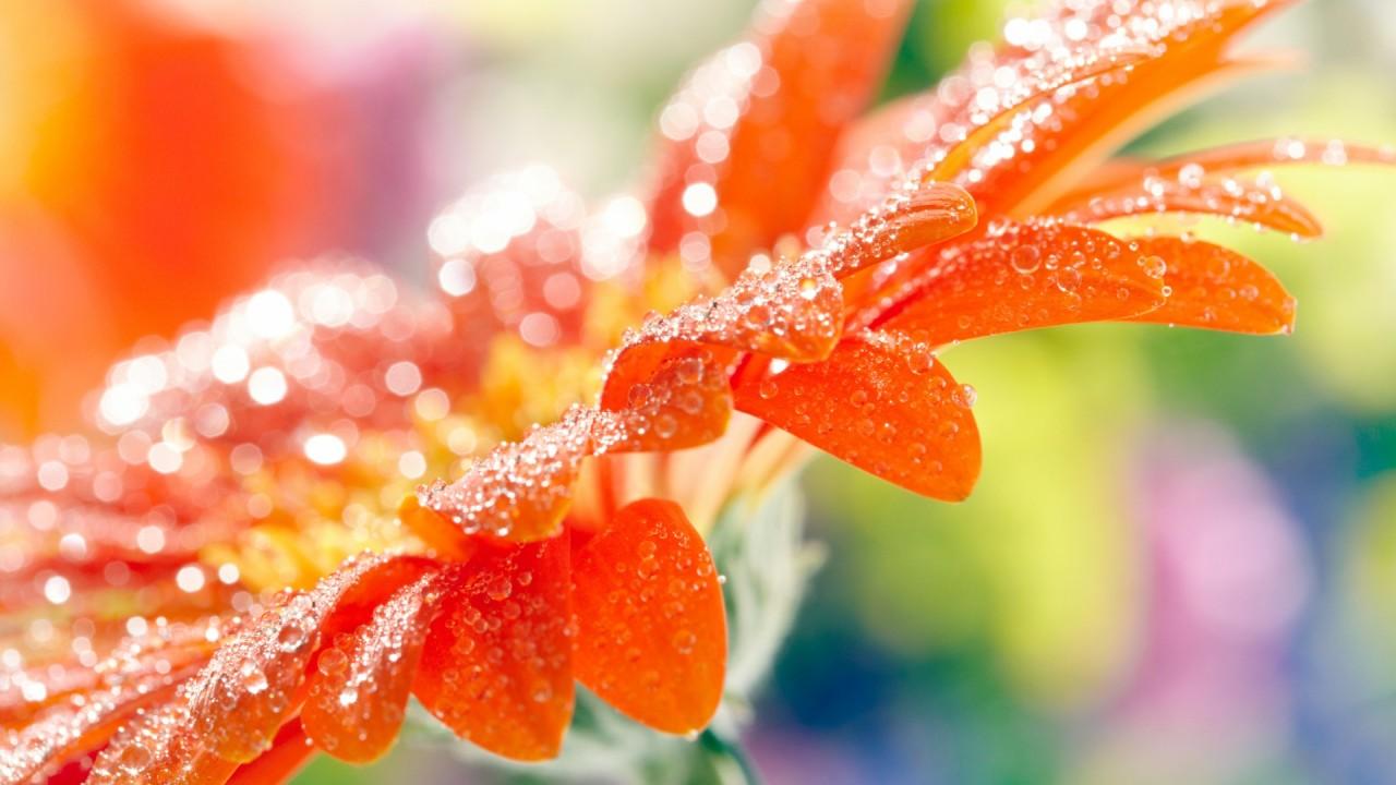 orange flower full of dew