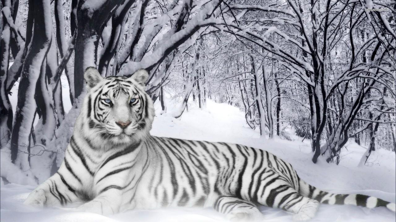 tigre others hd wallpaper