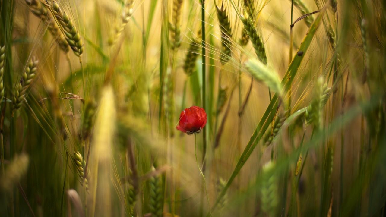 a poppy in wheat chain