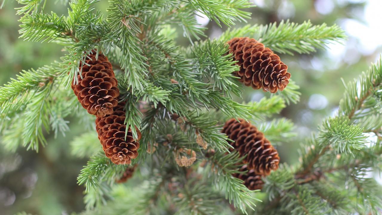 mature pine cones